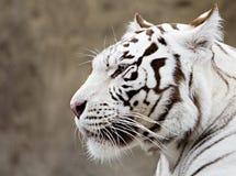 ¿Qué el tigre blanco piensa? fotografía de archivo libre de regalías
