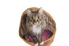 ¿Quién son usted? El mirar fijamente del gato Imagenes de archivo