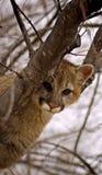 ¿Usted me ayudará? Puma (Felis Concolor) Foto de archivo libre de regalías
