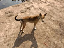 गावरान कूत्रा. Dog digy pets Royalty Free Stock Photos