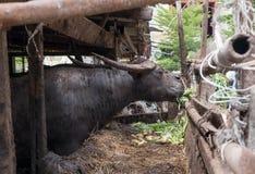 ฺฺBuffalo在农场 免版税库存照片
