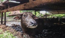 ฺฺBuffalo在农场 免版税库存图片