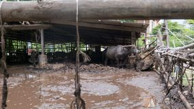 ฺฺBuffalo在农场 库存照片