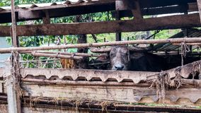 ฺฺBuffalo in farm Stock Images