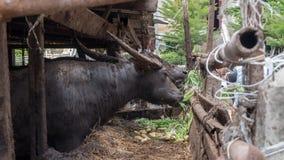 ฺฺBuffalo w gospodarstwie rolnym Obrazy Royalty Free