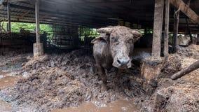 ฺฺBuffalo w gospodarstwie rolnym Fotografia Stock