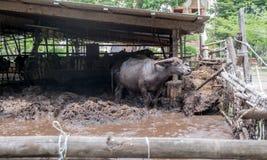 ฺฺBuffalo w gospodarstwie rolnym Obrazy Stock
