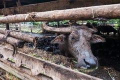 ฺฺBuffalo w gospodarstwie rolnym Zdjęcie Stock