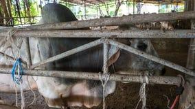 ฺฺCow na exploração agrícola fotos de stock royalty free