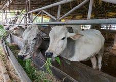 ฺฺCow na exploração agrícola foto de stock