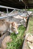 ฺฺCow na exploração agrícola imagens de stock royalty free