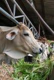ฺฺCow w gospodarstwie rolnym Zdjęcie Stock