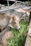 ฺฺCow w gospodarstwie rolnym Obraz Stock