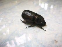 ฺBaby象鼻虫在庭院里 免版税库存照片