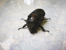ฺBaby象鼻虫在庭院里 库存图片