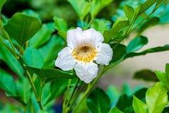 ฺBeautiful biały kwiat w ogródzie Biały kwiat z liściem obrazy royalty free