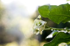 ฺBeautiful poi sian bloemen royalty-vrije stock foto