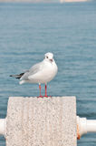 ฺBlack-headed gull stock photography