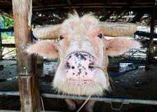 ฺBuffalo Stock Photos