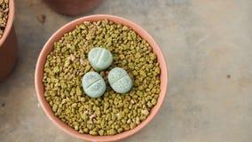 à¸Šà¸·à ¹ ˆà¸ kleines nettes Lithop in der Topfabdeckung mit braunem Stein mit Kopienraum im Konzept minimal, im Kaktus und im Su Stockfotografie