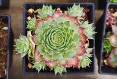 ชืзеленые ˆà¸ ¹ à малые и розовые лепестки сладостных succulents подняли с молодыми ростками вокруг матери Стоковые Изображения