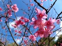 Thai sakura. Thailand chiangmai thaisakura royalty free stock image