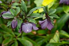 ิฺBell-shaped purple flower stock photography