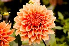 à¸'Big chrysant royalty-vrije stock foto