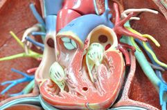 ้heart of human anatomy model. Close up to heart of human anatomy model stock image