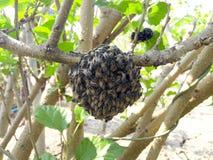 ฺฺBee на дереве шелковицы Стоковая Фотография