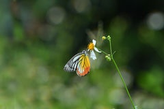 ฺีButterflys в Таиланде Стоковое Изображение RF