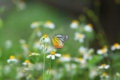 ฺีButterflys в Таиланде Стоковые Фотографии RF