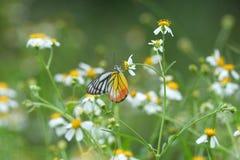 ฺีButterflys в Таиланде Стоковое фото RF