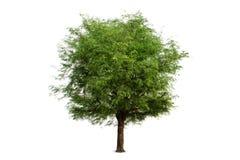ตOdosobniony tamaryndy drzewo na białym tle, ścinek ścieżka Zdjęcia Royalty Free