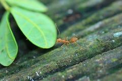 ื蚂蚁 免版税库存图片