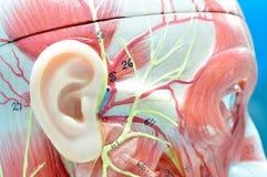 сторона ‰ ¹ à человеческой модели анатомии Стоковая Фотография
