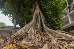 ฺBanyan boom Stock Foto's