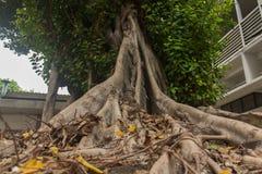 ฺBanyan drzewo Zdjęcia Stock