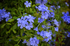 ฺBeautiful kwiaty Błękitni Obraz Royalty Free