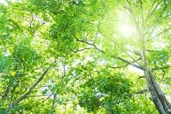 ฺBig πράσινο δάσος με το φως ήλιων Στοκ Φωτογραφίες