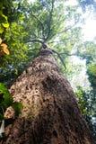 ฺBigträd i skog Fotografering för Bildbyråer