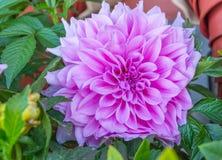 ฺBright e flores cor-de-rosa bonitas da dália Fotos de Stock