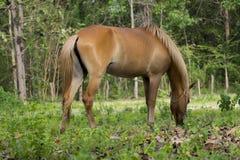 ฺBrown łasowania końska trawa Fotografia Stock