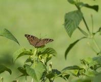 ฺBrown und Rot beschmutzten Schmetterling auf grünen Blättern Lizenzfreie Stockbilder