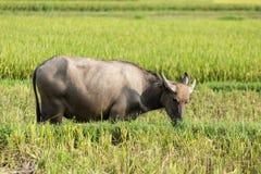 à¸'buffalo Imagen de archivo