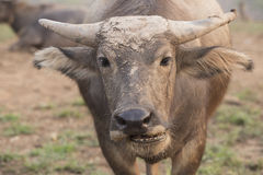 ฺBuffalo Image stock