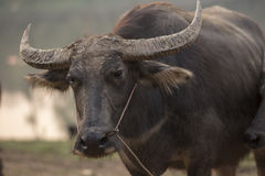 ฺBuffalo Photos stock