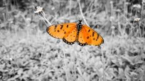 ฺButterfly apelsin Arkivfoton
