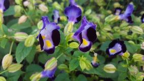 ฺButterfly blommor för ärta (blå ärta) Royaltyfri Fotografi
