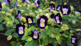 ฺButterfly fleurs de pois (pois bleu) Photo stock